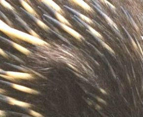 Echidna spines and fur