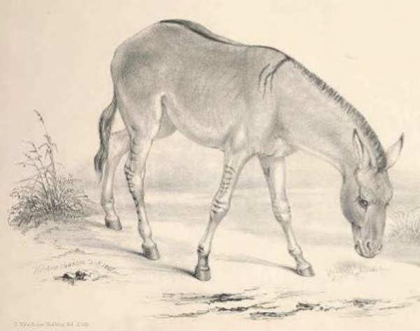 Hybrid between burchell's zebra and common ass