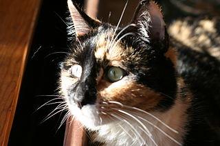 A tortoiseshell cat