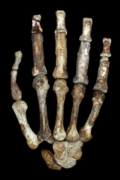 right hand bones of Australopithecus sediba