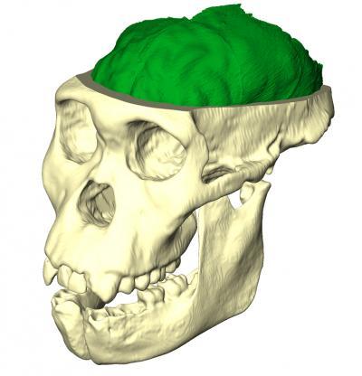 Australopithecus sediba MH-1