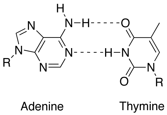adenine-thymine base pair
