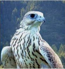 altai falcon