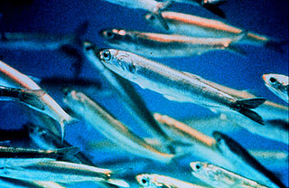 Picture of anchovies.