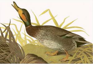 Brewer's Duck