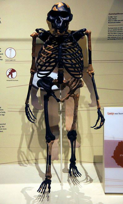 Picture of Australopithecus afarensis skeleton