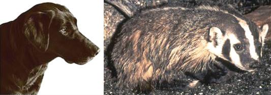 dog-badger hybrids
