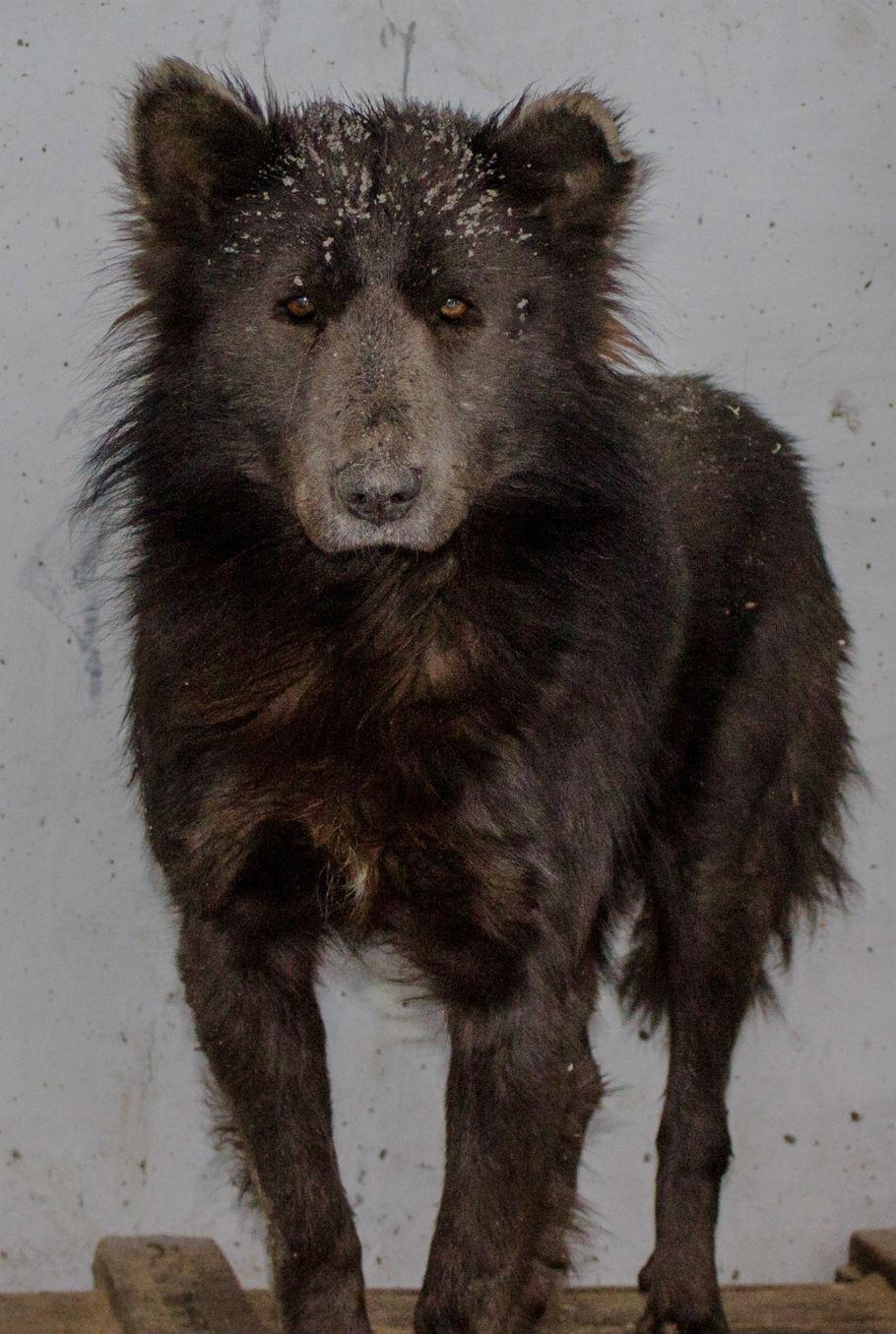 bear-dog hybrid standing