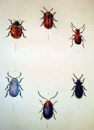 Illustrations of British beetles from James Francis Stephens' Illustrations of British Entomology