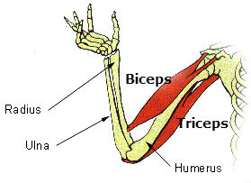 biceps tendon insertion