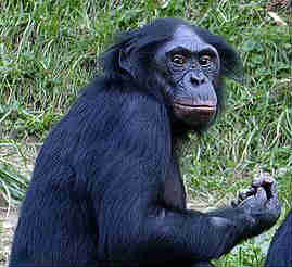 ape to human evolution a history of the idea online biology
