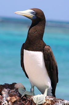 Brown booby, Sula leucogaster