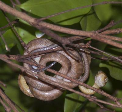 Picture of a brown tree snake.