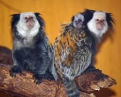 Geoffroy's marmoset Callithrix geoffroyi