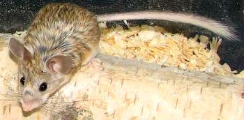 Mouselike Hamster