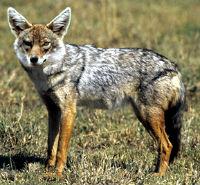 Dog Jackal Hybrids Mammalian Hybrids Biology Dictionary