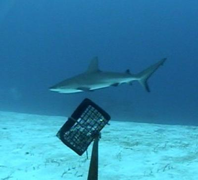 Picture of a a Caribbean reef shark