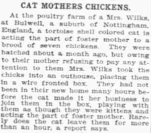 cat fosters chicken