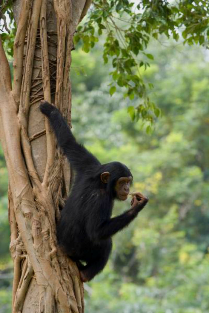 young chimpanzee in a tree