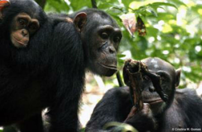 Two adult chimpanzees with infant chimp