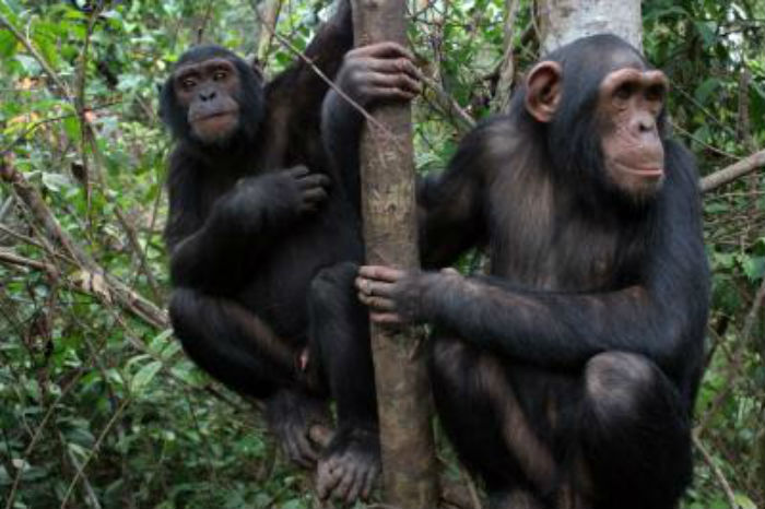 two chimpanzees in a tree