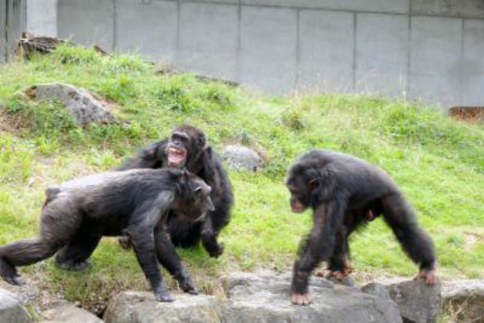 chimpanzees in conflict