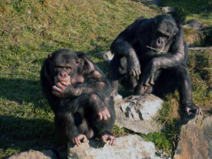 meditative chimpanzees