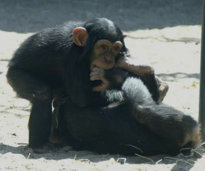 Two infant chimpanzees at play