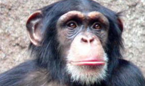 Chimpanzee face
