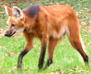 Maned wolf (Chrysocyon)