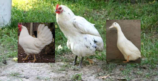 chicken-duck hybrid