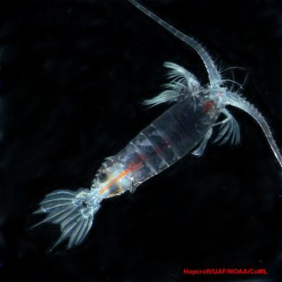 Picture of a copepod.