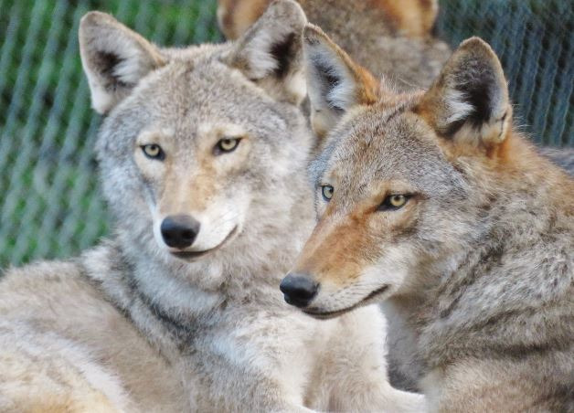 coyote-wolf hybrids