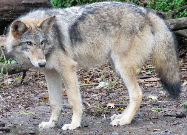 Coyote-wolf Hybrids - Mammalian Hybrids