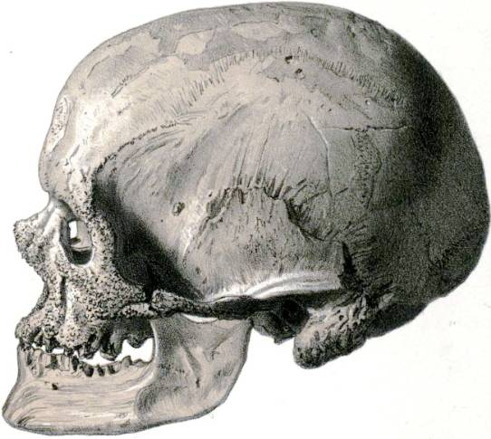 Cro-Magnon skull, lateral view