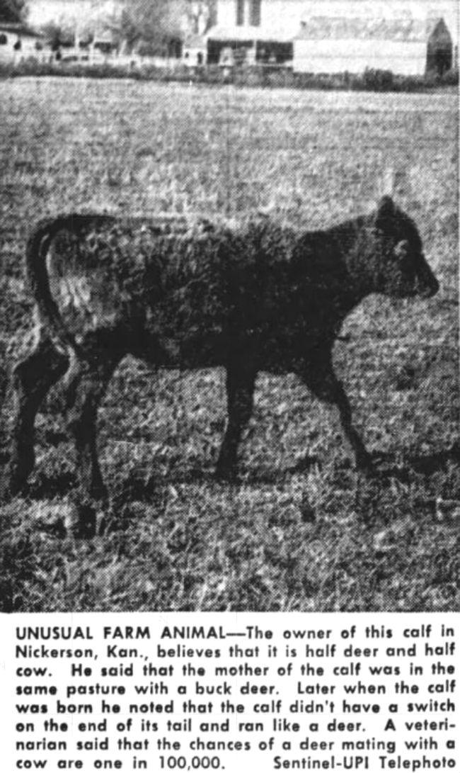 Deer Cow Hybrid