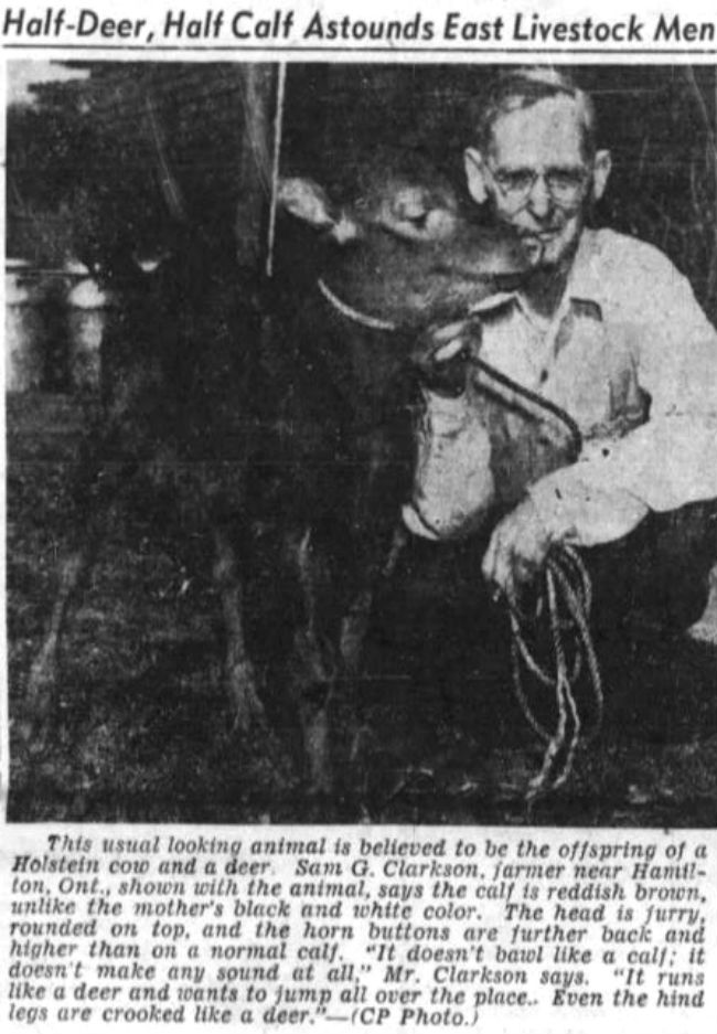 Above A Report About Deer Cow Hybrid In The Calgary Alberta Herald Apr 18 1949 P 10 Y6yvvgdf