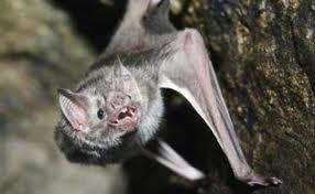 Vampire bat (Desmodus rotundus)