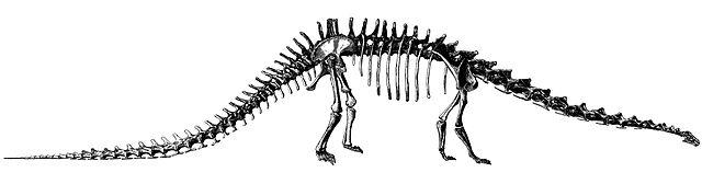 skeleton of Diplodocus.