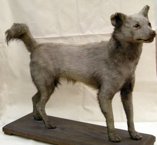 Picture of a dog-fox hybrid in the Grosvenor Museum ...