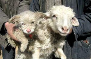 dog-sheep hybrid
