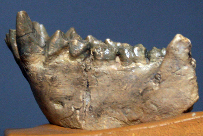 Picture of a dryopithecine mandible