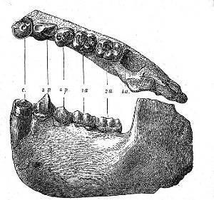 dryopithecine mandible