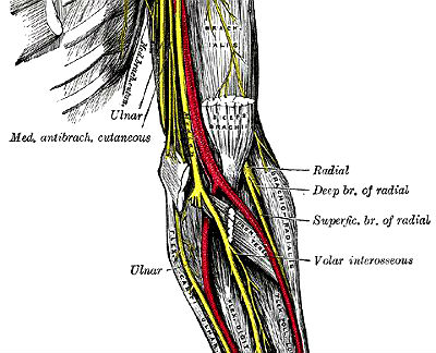 Elbow Anatomy Online Biology Dictionary
