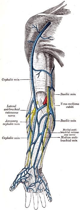 elbow veins