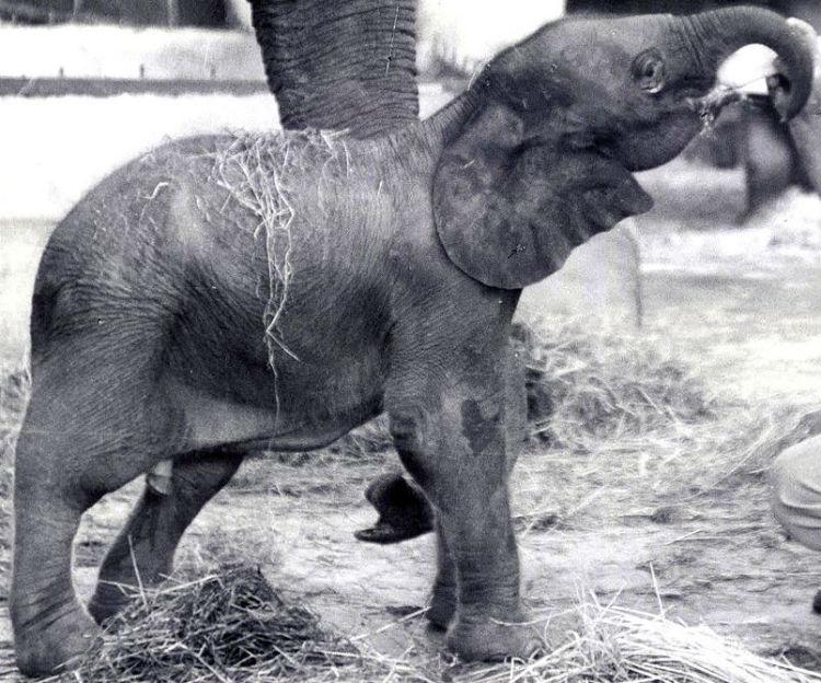 elephant hybrid