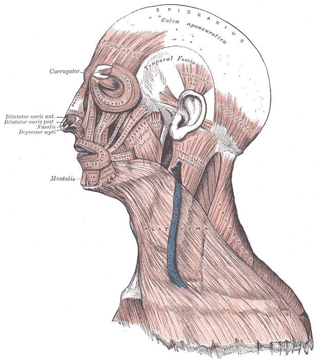 Labelled picture of the facial muscles