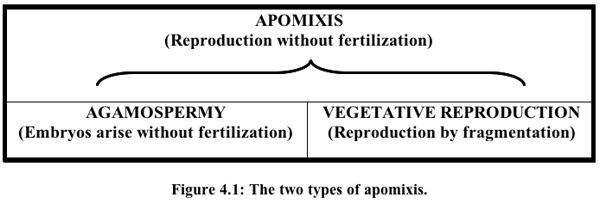 apomixis