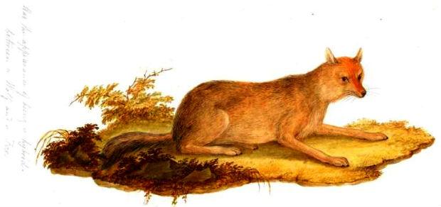 fox-wolf hybrid