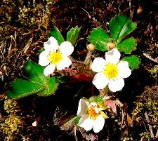 Virginia Strawberry Fragaria virginiana